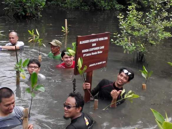 menanam mangrove